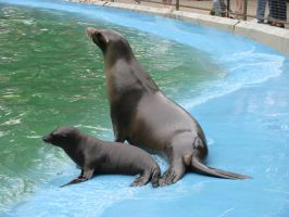 Animals 120 sea lion by Dreamcatcher-stock