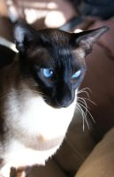 Siamese 1 by luckyseven11779