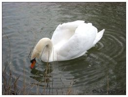 swan 07 by schnegge1984