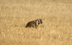 Badger by sgt-slaughter
