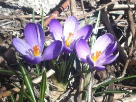 Crocuses-I by dlighted