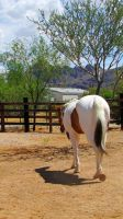 Paint Horse Stock 15 by Rejects-Stock