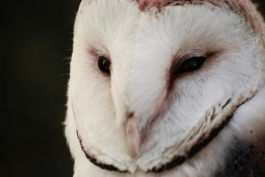 Barn Owl Close up by dcf