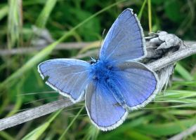 Common Blue Butterfly by Mik23