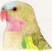 Princess Parrot (Polytelis alexandrae) by gouldian-finch