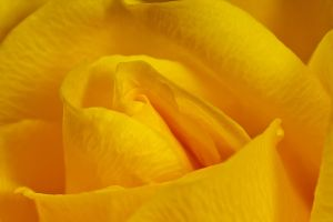 Yellow Rose by dalantech