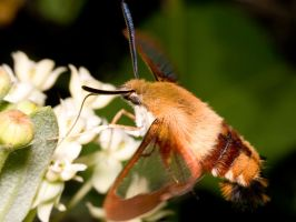 Hummingbird Moth 4 by Twitch1977