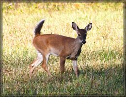 White-tailed Deer 40D0028339 by Cristian-M