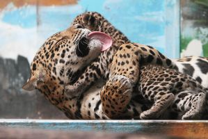 Jaguars: Unconditional Love by AF--Photography