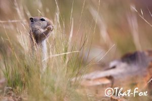 Mavis the Marmot by that-fox