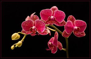 MOTH ORCHIDS 310 by THOM-B-FOTO