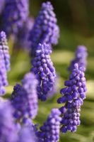Grape Hyacinth near my House by froggynaan