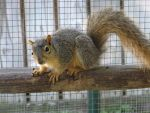 Young Fox Squirrel 2 by Windthin