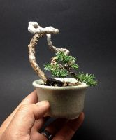Mame Juniper bonsai tree by Ken To by KenToArt