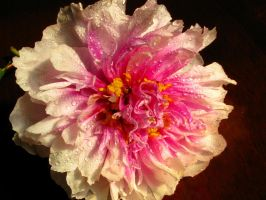 Paeonia Rose by Formel