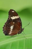 Jacintha Eggfly Butterfly by AlHabshi