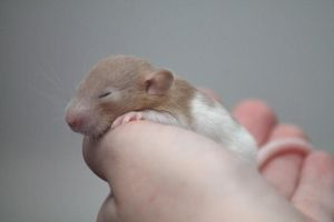 16 day old rat resting 02 by stphq