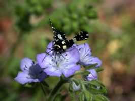 Phacelia with Moth by Eliasome