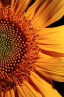 Sunflower 1 by jeffreyverity