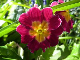 primula by harrietbaxter