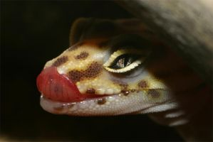 Banded Gecko by James-T-Anthony
