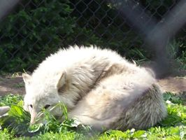 wolf curled up at the zoo by flourpie