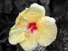 Hibiscus in Hawaii by Sweetlittlejenny