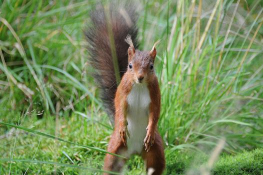 red squirrel uk by MatTeesside