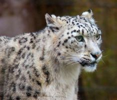 Snow Leopard by Wild-Soul