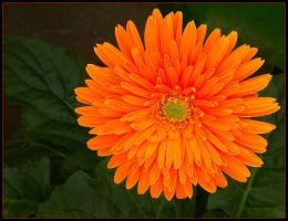 BRIGHT ORANGE GERBERA by THOM-B-FOTO