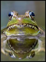 Frog Reflection II by eccoarts