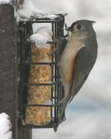 Tufted Titmouse 2 by natureguy