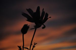 Sunsets and Flowers by glos