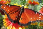 Queen Butterfly (Danaus gilippus) by ladyoftheshire