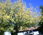 Yellow Tree by Ironhold