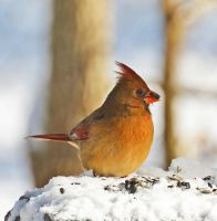 Snow Cardinal 1-29-14 by Tailgun2009