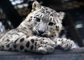 Sweet Snow Leopard by Vertor