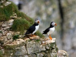 Puffins on the rock face by Steve-FraserUK
