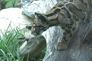 Clouded Leopards (3) by Razgar