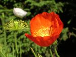 Stock--tulip_buds by taintedl-stock