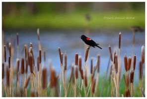 Red Winged Blackbird by Nate-Zeman
