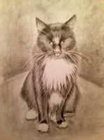 Pencil cat portrait of Poppy by Ned-The-Hat