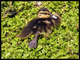 Tired duckling by Fiamella