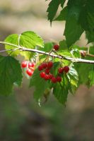 Autumn Berries by calger459