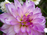Hello, I am a Dahlia by PhotographyFace