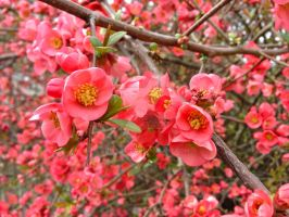Flowering Quince by Bwabbit