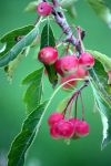 Rosey Fruits Of Early Autumn by aegiandyad