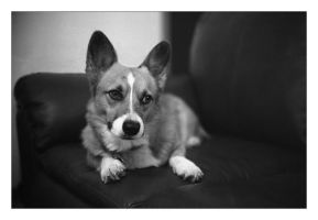 Monochrome Corgi by cylan
