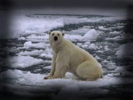 Sad polar bear on ice by charlottegreen