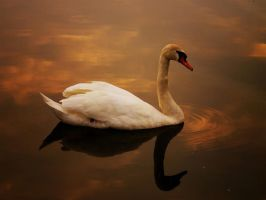 Swan in the evening II by trimi85